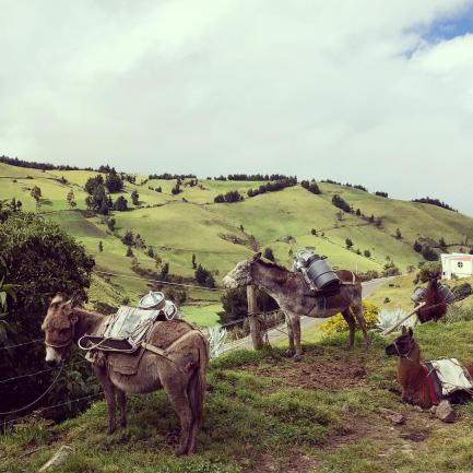 Transportation mules in one of the prairie lands in an excursion on the Ecuador summer 2019 program.